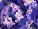 موسوعة رائعة من الورود Flowers-wallpaper%20%285%29