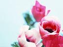 موسوعة رائعة من الورود Flowers-wallpaper%20%2849%29