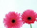 موسوعة رائعة من الورود Flowers-wallpaper%20%2845%29