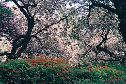 新宿御苑。櫻