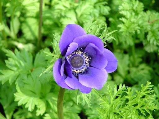 Keukenhof, violetta