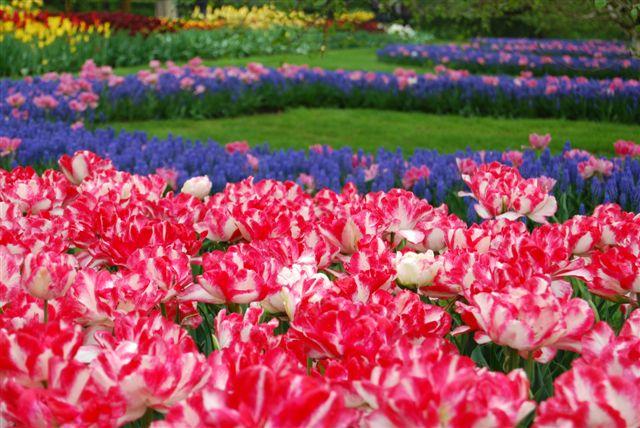 Fiori violette e rossi bianci al Keukenhof