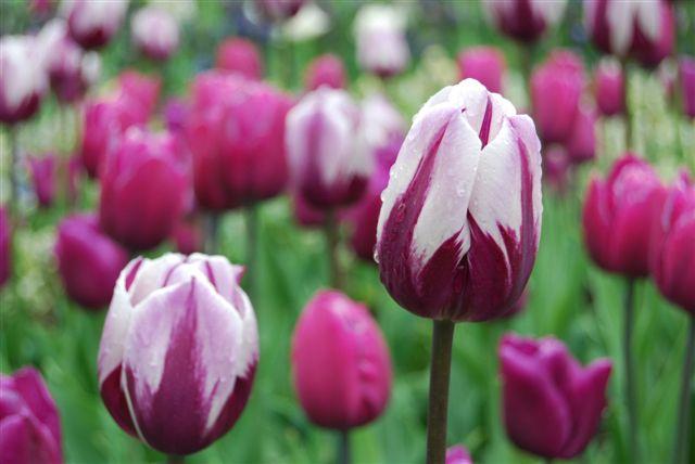 Tulipano rosso e bianco al Keukenhof