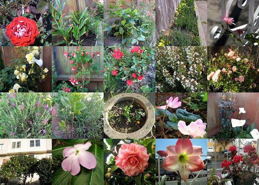 2009后院的植物:上至下,左至右. 第一排:红玫瑰,白姜花(从来没见过花),咖啡,薰衣草,天竺葵,第二排:黄玫瑰,倒挂金钟,红色迷你月季,开花的百里香,粉色迷你月季,第三排:开花的薰衣草,小丁香,小杜鹃和小绣球(绣球现在长大些开花了),仙客来,意外的马蹄莲.第四排:柠檬树和山茶,夹竹桃,山茶,对对红,天竺葵