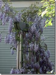 Jill's wisteria