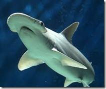 Sphyrna tiburo