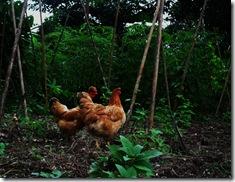 Jungle Chicks