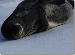 HM Curios Seal