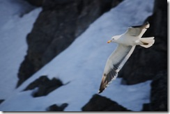 Antarctic Gull Nicholas Bay