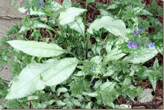 Pulmonaria_DianaClare_May13