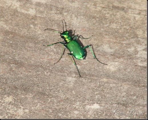 EmeraldBeetle