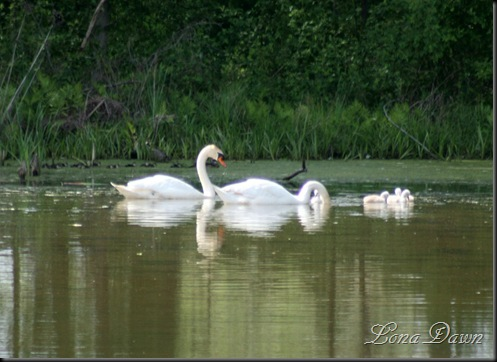 LAkeL_SwanBabies_May10