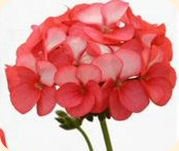 Geranium_horizon_red_ice