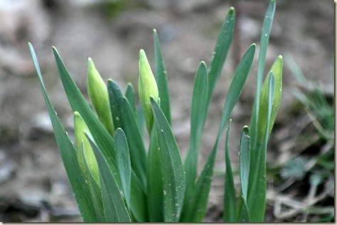 SpringDay_Daffodils