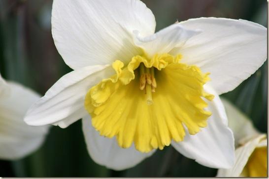 Daffodil8_2010