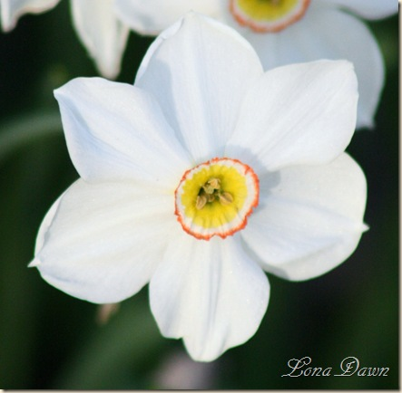 Daffodil_Pink4
