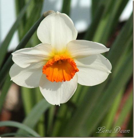 Daffodil4_March31