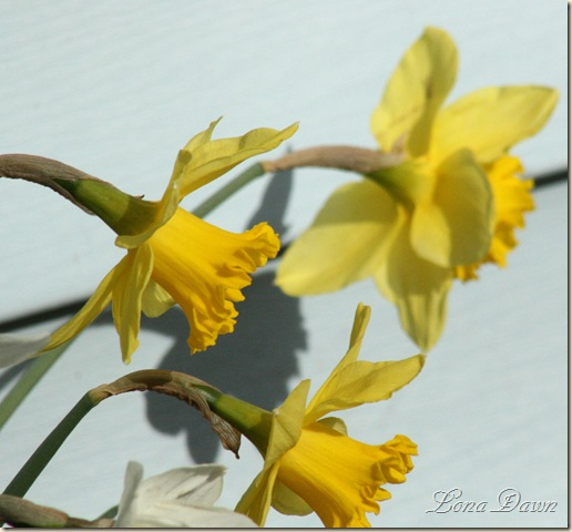 Daffodils3_March31