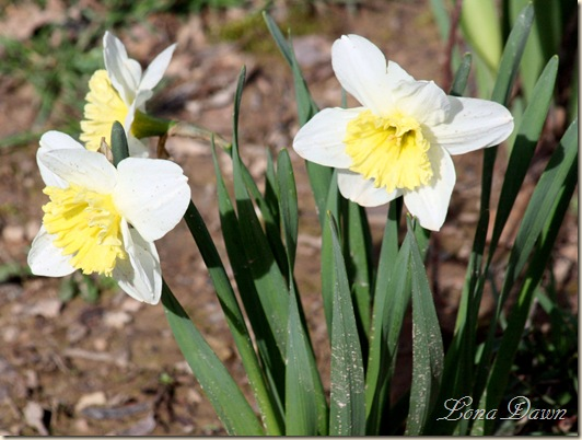 Daffodils_March 31