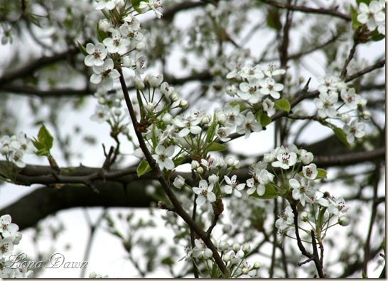 Apple_Blossoms2