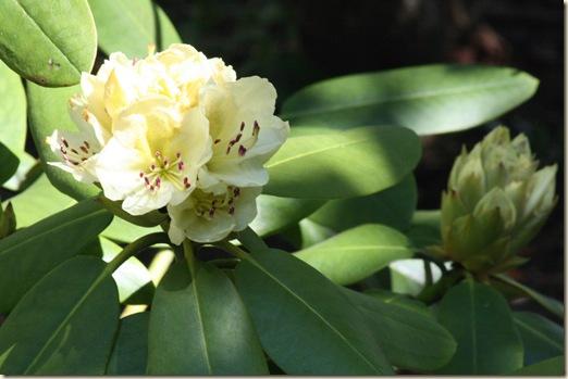 Capistrano_Rhododendron
