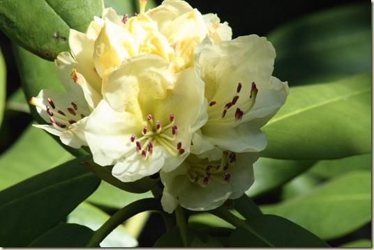 Capistrano_Rhododendron2