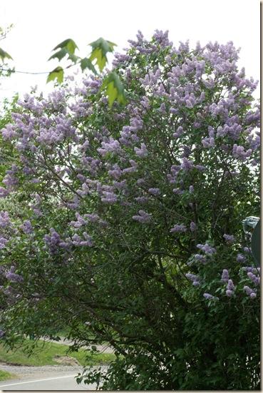 Lilac_OldBush