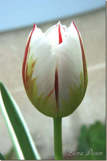 Tulip_Stripes