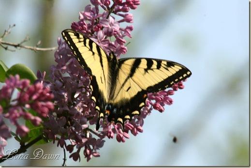 Tiger3_Swallowtail