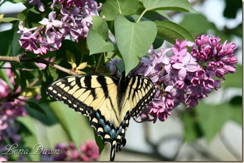Lilac_TigerSwallowtail