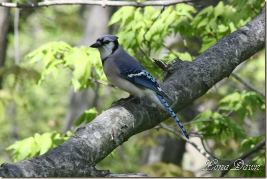BlueJay_April21