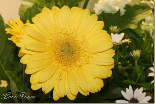 Gerbera_Yellow6