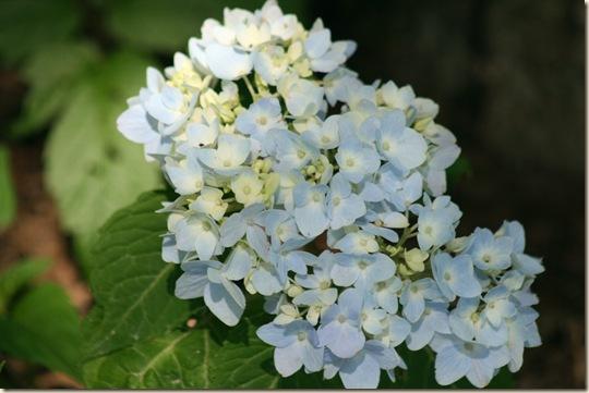 Hydrangea_BlueberryParfait