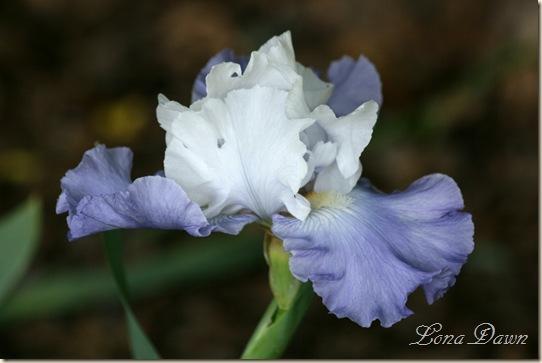 OutoftheBlue_Iris