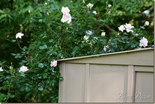 ND_Roses_May24