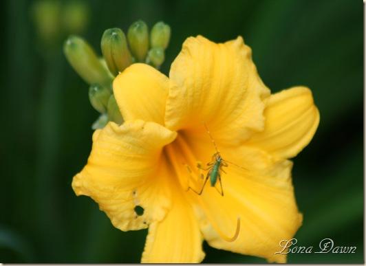 Lily_Stella_Bug