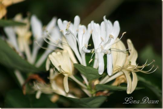 HoneySuckle_Blooms2