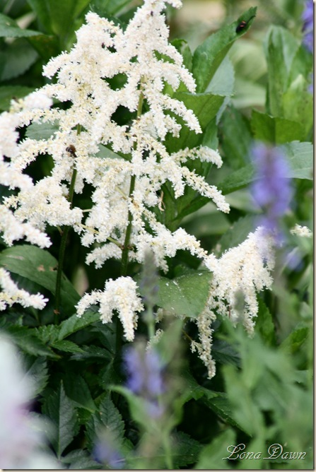 Astilbe_White_June2