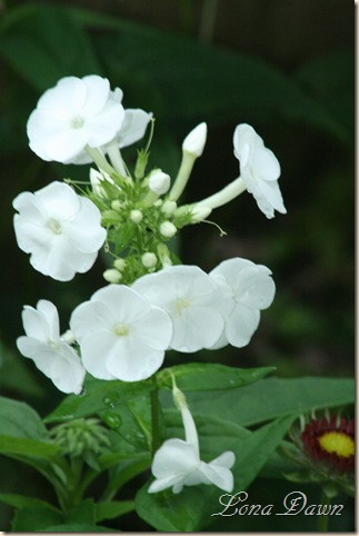 Phlox_White_June12