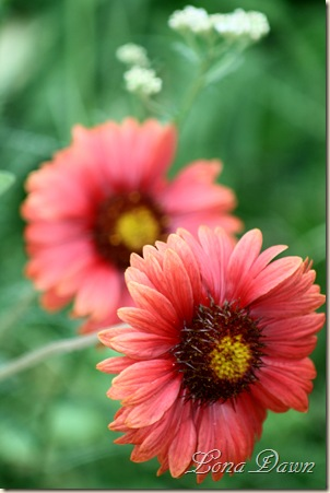 Gaillardia_Burgundy_June5