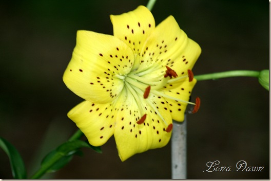 Lily2_Yellow