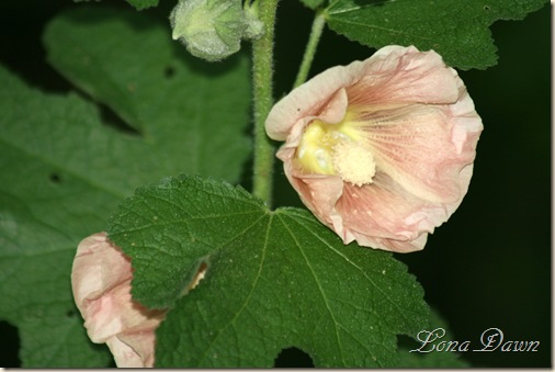 Hollyhock_Peach