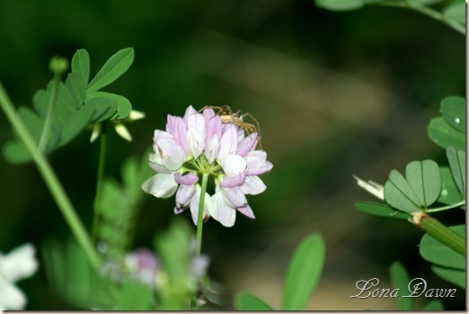 Crownvetch_Spider