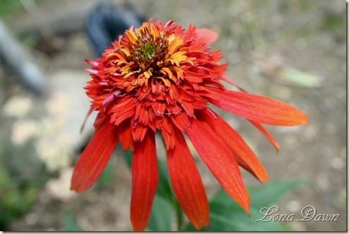 Echinacea_HotPapaya
