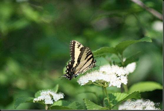 OMC_TigerSwallowtail