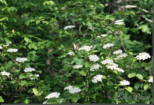 OMC_Butterfly_PagodaDogwood
