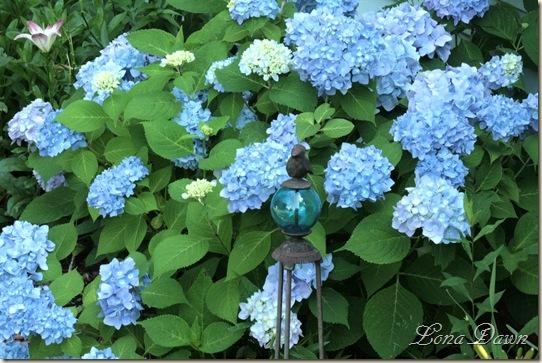 Hydrangea_Nikko_June15