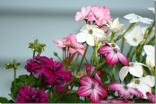 Nicotiana_Container2