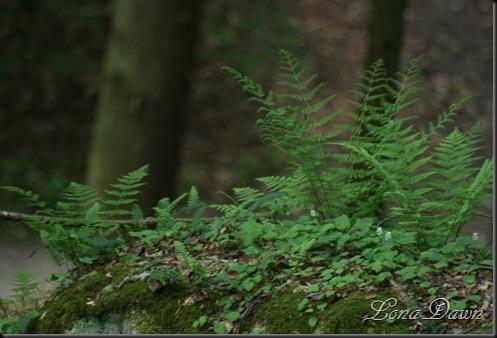 CedarFalls_Ferns