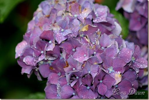 LF_Purple_Hydrangea